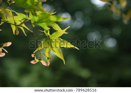 seeds of maple tree, charming and lucid color, against darkness