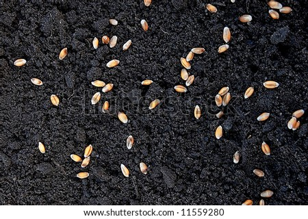 seeds of wheat in grows - stock photo