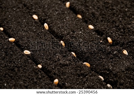 seeds of wheat in growth - stock photo