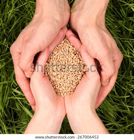 Seeds of wheat in the hands of the green shoots