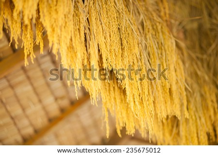 Seeds rice for planting. - stock photo