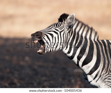 Seemingly uncontrolled laughter from a zebra