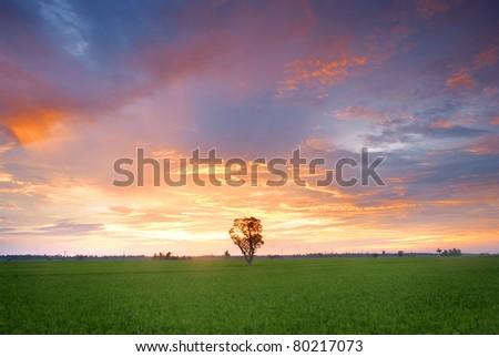 Sekinchan Paddy field, Single tree - stock photo