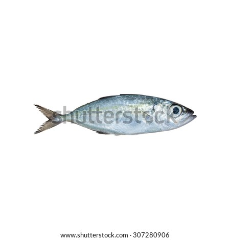 Selar crumenophthalmus ,Bigeye scad ,fish isolated on white background , with clipping path