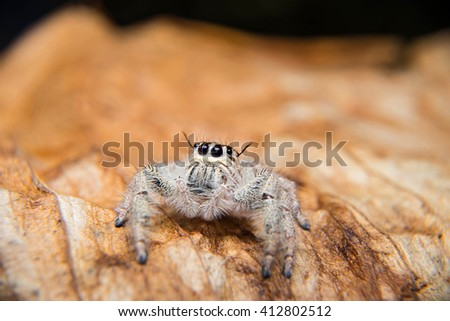 Select focus Jumping Spider macro, Spider in Thailand