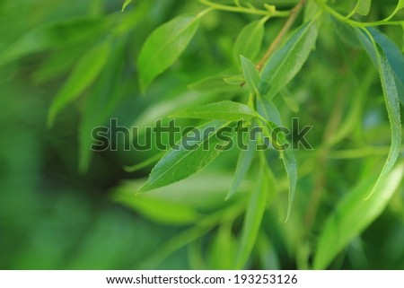 Selected focus. Eco background of willow leaves in a sunny spring day in park Moscow, Russia - stock photo