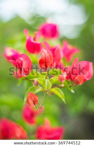 Selected focus of pink color bougainvillea