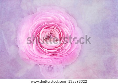 Selected view of pink ranunculus flower with a light texture. - stock photo