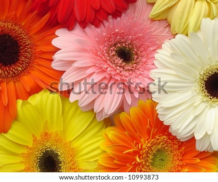 Selection of gerbers arranged as a background. - stock photo