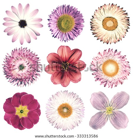 Selection of Various Flowers in Pink Vintage Retro Style Isolated on White Background. Daisy, Chrystanthemum, Cornflower, Dahlia, Iberis, Primrose, Gerbera, Rose. - stock photo