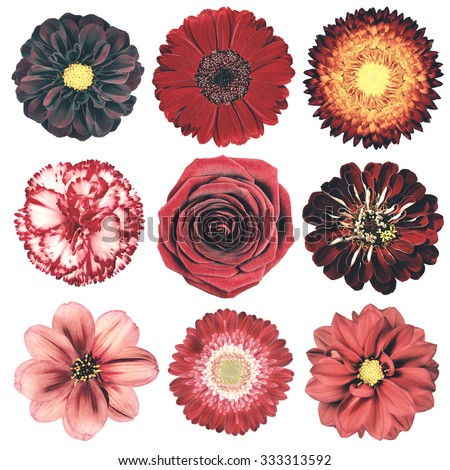 Selection of Various Flowers in Red Vintage Retro Style Isolated on White Background. Daisy, Chrystanthemum, Cornflower, Dahlia, Iberis, Primrose, Gerbera, Rose. - stock photo