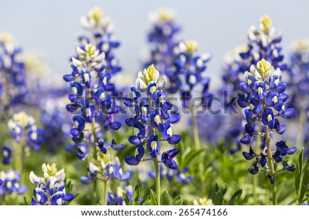 Selective focus closeup with shallow dof on patch of Texas Bluebonnets (Lupinus texensis) from low angle against blue sky. - stock photo