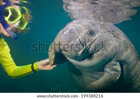 Selective focus of a female snorkeler greeting a manatee.  Focus is on the manatee. Some back-scatter in the turbid water. - stock photo