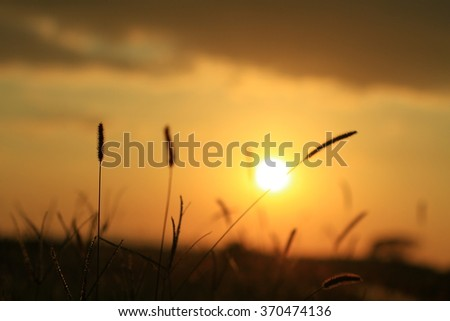 Selective focus of a paddy during sunset with background of a sun. - stock photo