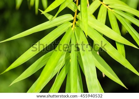 Selective focus of bamboo leaves background. Close up of bamboo leaf. - stock photo