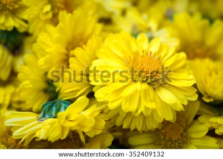 Selective focus of Beautiful yellow Chrysanthemum indicum as background.