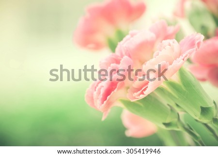 selective focus of close up the sweet pink carnation flowers - stock photo