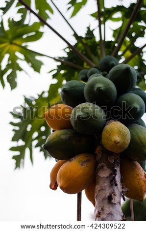 Selective focus of papaya tree with ripe fruits on blurred bokeh background of tree in Thailand. Viewed from below. selective focus (defocus) - stock photo