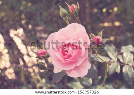 Selective focus on a blooming pink rose with a soft vintage focus./Pink Rose - stock photo