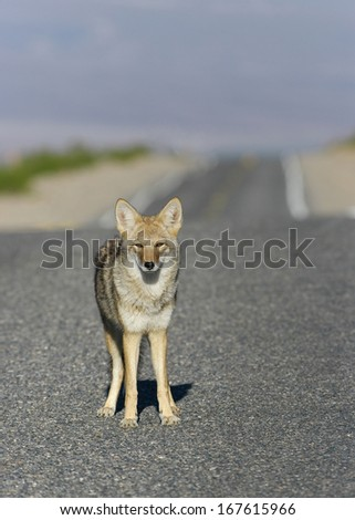 Selective focus on a coyote (Canis latrans) on a road. Photo taken in Death Valley National Park. - stock photo