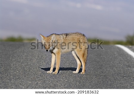 Selective focus on a coyote (Canis latrans) on Badwater Road (Death Valley National Park, California). - stock photo