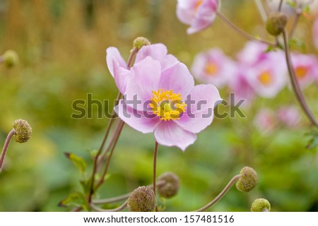 Selective focus on blooming Japanese Anemone flowers. - stock photo