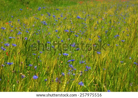 Selective Focus on blue cornflower. Beautiful summer meadow.  Soft focus flowers with green wheat background - stock photo
