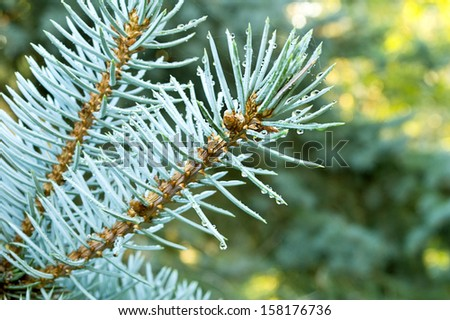 Selective focus on blue spruce branches with water droplets.  - stock photo