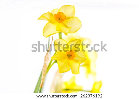 Selective focus on pair of daffodils with distant flowers fading into white background.  Macro image very close. Horizontal with copy space.  - stock photo