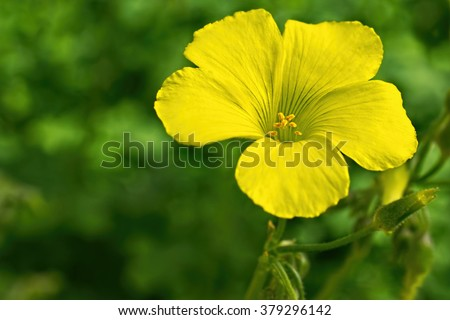 Selective focus on yellow Oxalis flower and flower bud in the garden on springtime  - stock photo