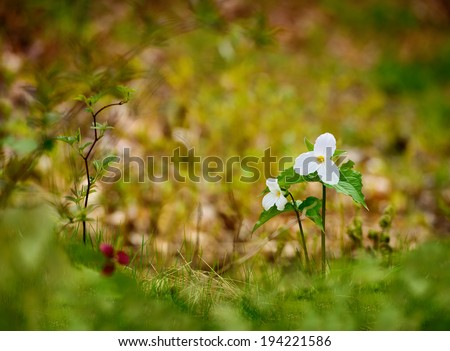 Selective focus two White Trilliums. Blurred background and foreground. Room for copy space. Trillium grandiflorum is the official emblem of the Province of Ontario and the State Wildflower of Ohio.  - stock photo