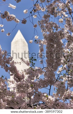 Selective focus was used on this image of Japanese cherry trees in full bloom around the Tidal Basin in Washington, DC.  The Washington Monument, a US National landmark, can be seen in the background. - stock photo