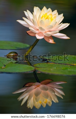 Selective focus with zoom lens capturing detail of pale pink waterlily and soft focus background.  Pleasing bokeh and luminous reflection. - stock photo