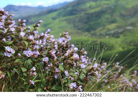 Selectively focused Strobilanthes kunthiana locally known as 'Neelakuriji' blooms at the hills of Munnar after the gap of 12 years in Kerala. - stock photo