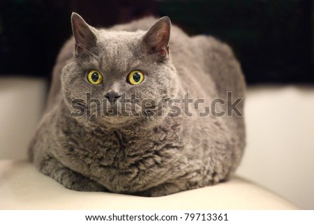 Selkirk-Rex breed grey colored cat lying on a cushion. Front view - stock photo