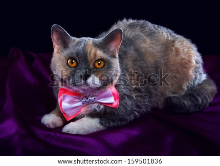 Selkirk Rex cat with pink bow-tie. - stock photo