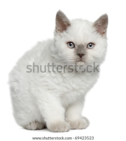 Selkirk Rex kitten, 11 months old, sitting in front of white background - stock photo