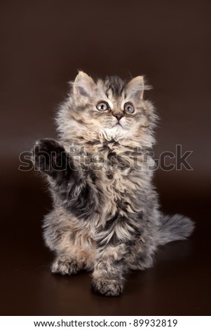 Selkirk rex on brown background - stock photo