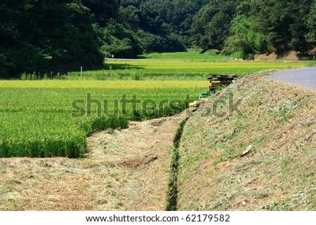 semi harvested Jike japan rice paddy - stock photo