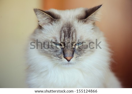 Semi-Longhair home cat
