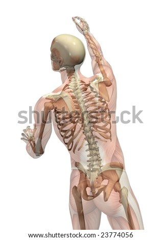 Semi-transparent muscles over skeleton - man seen from back view - turning and reaching up. - stock photo