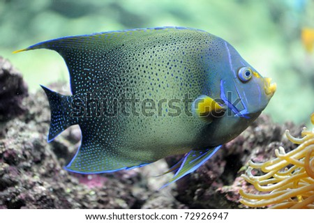 semicircle angelfish (Pomacanthus Semicirculatus) in an aquarium