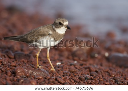Semipalmated Plover (Charadrius semipalmatus) in winter plumage foraging on the red rock beach of Rabida Island, Galapagos. - stock photo