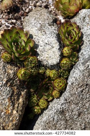 Sempervivum calcareum. Succulent - stock photo
