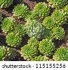Sempervivum. Garden flower background - stock photo