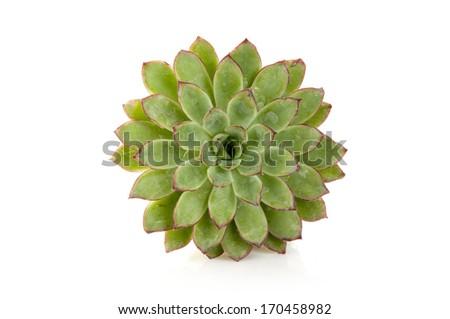 sempervivum isolated on white - stock photo