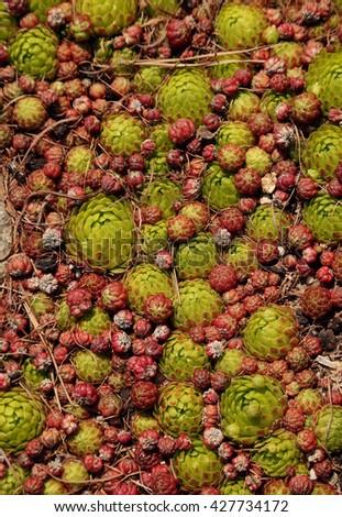 Sempervivum soboliferum. Succulent - stock photo