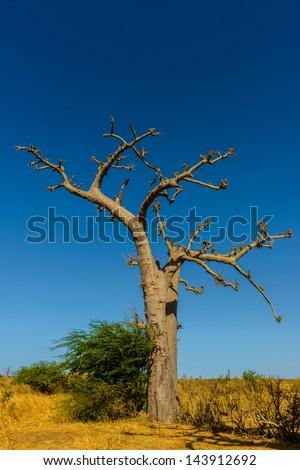 Senegal baobab tree - stock photo