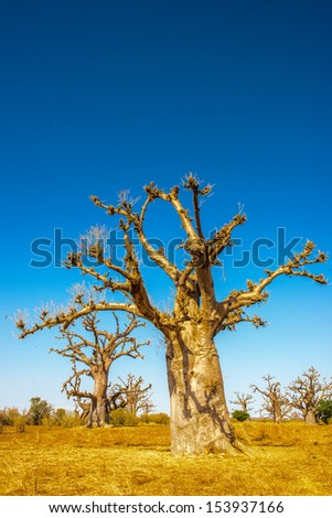 Senegal desert anf a baobab tree - stock photo