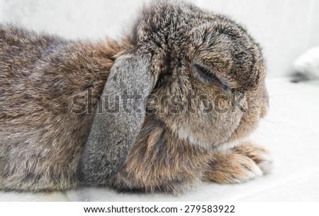 Senior brown rabbit laying down, shallow depth of field focus on head - stock photo